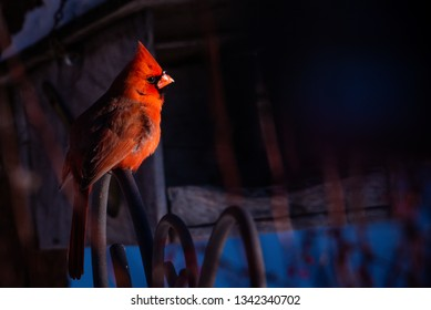 low key isolated male red cardinal in profile. bright red with black mask and orange beak.