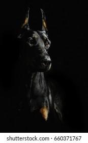 Low key portrait of Doberman. Studio shoot