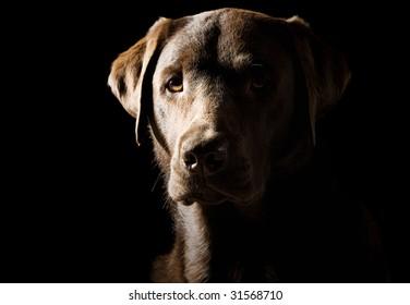 Low Key Shot of a Proud Labrador
