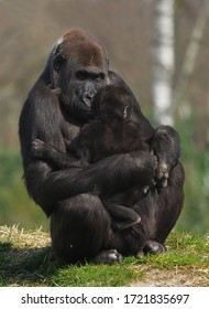 Low land gorilla mother with baby