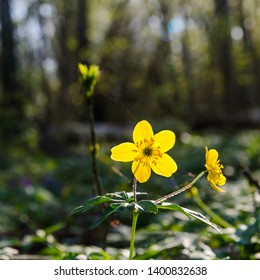 Low perspective image of a glowing backlit yellow wood anemone
