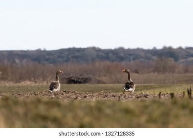 Low perspective image of two Greylag Geese, Anser anser, in a farmers field at the swedish island Oland