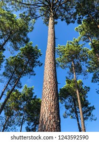 low perspective looking up the trunk of a tall pine tree on a bright summer day