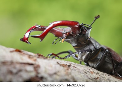 Low point of view on stag beetle (Lucanus cervus) head and big red mandibles