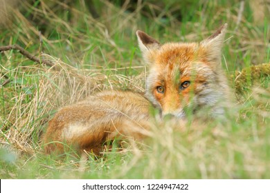 Low point view of a wild young red fox (vulpes vulpes) vixen resting and relaxing in meadow with grass and wood.
