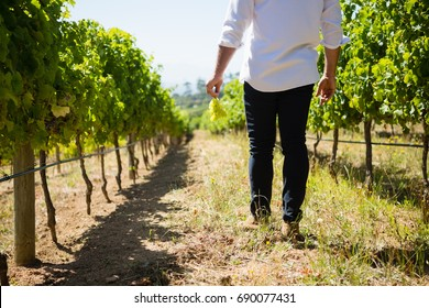 Low section of vintner walking in vineyard on a sunny day