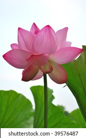 Low shot of lotus flower in full bloom, symbolizing religion, buddhism, purity, serenity, zen, the summer season, enlightenment, bliss, joy and other abstract concepts. Taken in Japan.