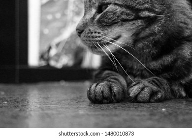 Low Side view of paws and half head with whiskers on a patterned black and gray house cat/domestic cat which lies on the floor. Black and white picture. Floor shot.