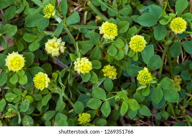 Low, or smaller, hop clover (Trifolium campestre) in spring in central Virginia. Also known as hop trefoil and field clover. Considered a valuable forage crop in pastures.