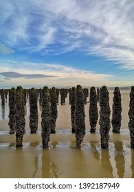Low tide exposing rows of mussels cultivated on robes attached to poles in the bay of Wissant at Cap Gris-Nez, Pas-de-Calais in Northern France