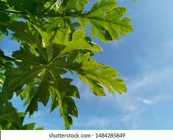 Low angle​ view​ under the green papaya leaf with blue sky and white.Large leaves and notches. Fresh papaya leaves has medicinal properties are rich in papain, chymopapain, and essential fibre
