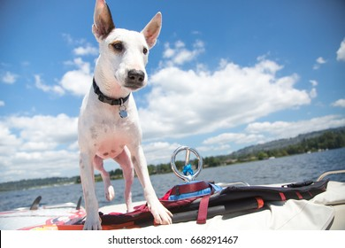 Low wide angle curious white terrier dog looking to side standing on life jackets on stern of motor boat with bright blue sky with clouds and lake shore in background of summer afternoon boating scene