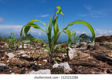 Low wide angle robust young corn plants growing in recently burnt corn field on sunny day in Chiapas, Mexico