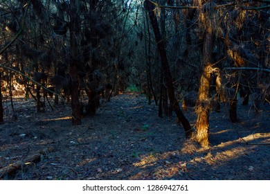 Low winter sunlight lights up the gap between two rows of blackened fir trees.