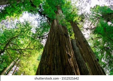 Low-Angle View of Massive Redwood Tree  in Northern California Forest - Jedediah Smith Redwoods State Park, California, USA