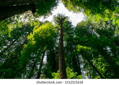 Low-Angle View of Massive Redwood Trees in Northern California Forest- Jedediah Smith Redwoods State Park, California, USA