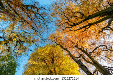 Low-angle, worm's-eye view of autumn treetops  in UK woodland.