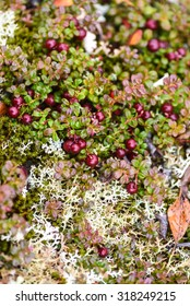 Low-bush cranberries, also known as Lingonberry.