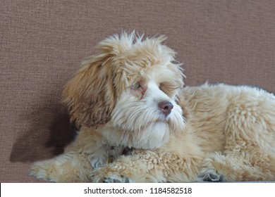 Lowchen puppy soft friendly and playful