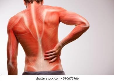 Lower back pain. Back musculature illustration.