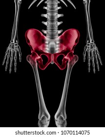 Lower half length Human Skeleton with red highlight on Hip- Pelvis- Socket joint and Thigh bone pain area Front View- X ray film- Human Anatomy and Medical concept- Isolated on black background.