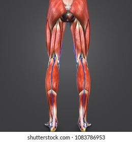 Lower limbs with muscle anatomy with skeleton and veins posterior view 3d illustration