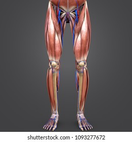 lower limbs muscle anatomy with skeleton, arteries and veins anterior view 3d illustration