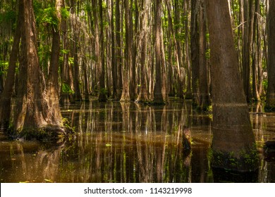 The lower portion of a forest of cypress trees growing out of the water of Lake Bistinaeu in Louisiana.  It is a swampy area with still water covered with tree debris.  Spanish moss hangs down.