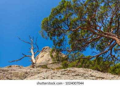 Lower view up on mountain slope with south pine crown and one dried tree lit with sunlight under clean blue sky in Crimea