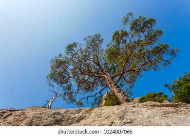 Lower view up on mountain slope with south pine and one dried tree lit with sunlight under clean blue sky in Crimea