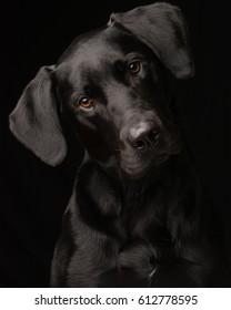 Low-Key-Porträt eines adoptierten Black Labrador Retriever neugierig kippen seinen Kopf, mit schwarzem Hintergrund