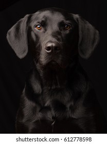 Low-Key style portrait of a curious adopted Black Labrador Retriever with a black background