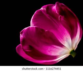 Low-Key Tulip Portrait