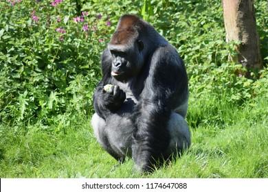 Lowland gorilla, in captivity