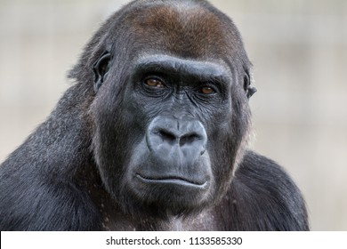 Lowland Gorilla Staring at Camera