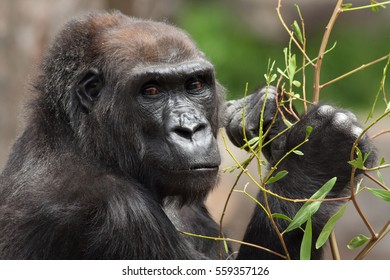 "Lowland gorillas (Gorilla gorilla) are now designated as ""Critically Endangered"" by the IUCN. Poaching and habitat destruction are two major threats to their survival in central Africa and the Congo."