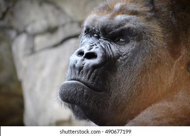 Lowland Mountain Gorilla