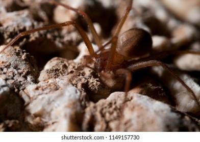 Loxosceles rufescens (Mediterranean recluse spider)