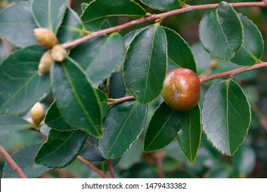Lu Shan Snow tea oil camellia (Camellia oleifera Lu Shan Snow)