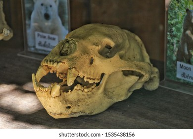 Luang Prabang/Laos - Oct 10 2019 :A bear skull model on wooden table with bear picture text card.