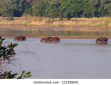 The Luangwa river, in the South Luangwa national park, Zambia has one of the largest hippopotamus populations on Earth