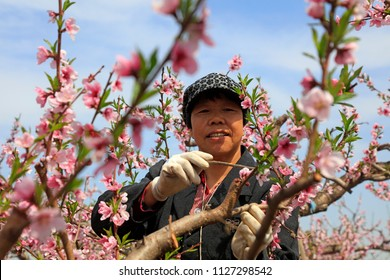 Luannan County - April 24, 2018: Peach farmers are pollinating peach trees, Luannan County, Hebei Province, China.