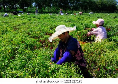 Luannan County - August 29, 2018: Farmers picking Capsicum, Luannan County, Hebei Province, China