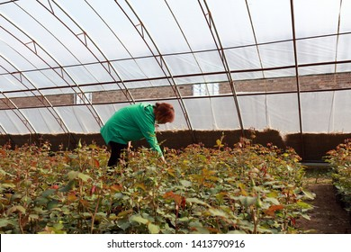 Luannan County - March 14, 2019: Female horticulturists check the growth of Rose plant, Luannan County, Hebei Province, China