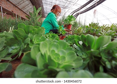 Luannan County - March 14, 2019: Female horticulturists check the growth of fimbriata malacophylla, Luannan County, Hebei Province, China