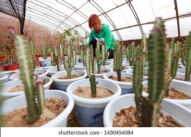 Luannan County - March 14, 2019: Female horticulturists check the growth of Euphorbiaceae keel, Luannan County, Hebei Province, China