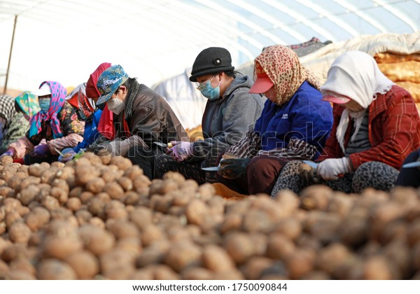 LUANNAN COUNTY - March 3, 2020: farmers cut potatoes and prepare to grow them on a farm in LUANNAN COUNTY, Hebei Province, China