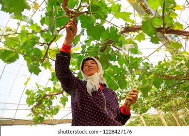 Luannan County - May 8, 2018: farmers work in vineyards, Luannan, Hebei, China