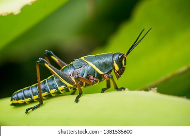 A lubber grasshopper rests on a bromeliad leaf, in Coral Gables, Florida