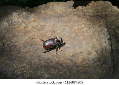 Lucanus cervus is the best-known species of stag beetle (family Lucanidae) in Western Europe